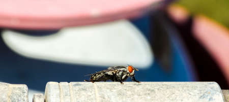 A flesh fly sitting on a pipe as it enjoys the heat from the sun, waiting to fly onto it's next victim or source of food to lay it's eggs.