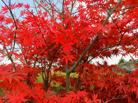 Beautiful bright red leaves enhanced in color due to the autumn season.