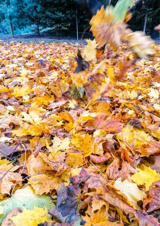 Autumn leaves lay all around, fallen from the trees above. Leaves that dry up and crunch when you walk through them. Foto de archivo