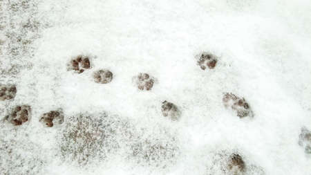 A running pattern of paw prints that have been imbedded in the snow.