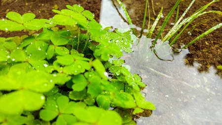 A symbol of Irishness, a small bunch of Clover flowers sit in a puddle. Their leaves vibrant green from being well nourished in the wet weather. Stock Photo