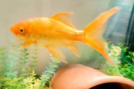 A large Goldfish swimming in an aquarium setup. The goldfish once being a popular prize at a carnival. Stock Photo