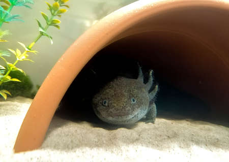A large Salamander, Axolotl, lizard type fish laying under the cover of a halved plant pot, in a fish tank.