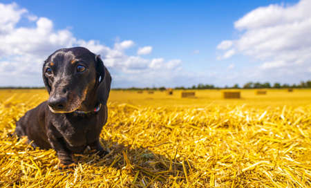 A Miniature Smooth Haired Dachshund enjoying resting in the sunshine on top of a hay bail, in a farmer's field.