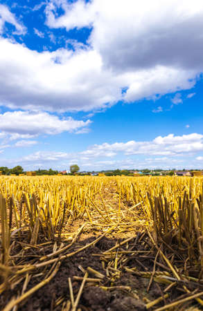A wheat field that has been freshly cut and piles of wheat lay piled along the field landscape.