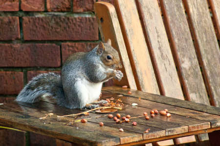 An adorable small grey Squirrel in a typical garden scene, in the United Kingdom, during autumn time.