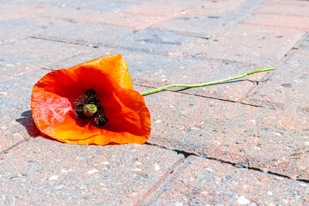 A single red poppy. A beautiful flower but also one that signifies those who died in the Great War of World War 1 and World War 2. Standard-Bild