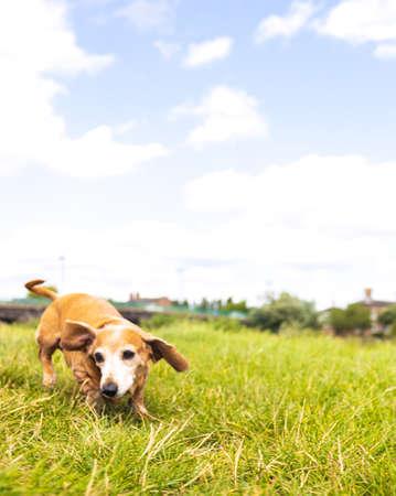 A happy Miniature Dachshund dog having fun as it runs through a grass field during a walk in the British countryside.