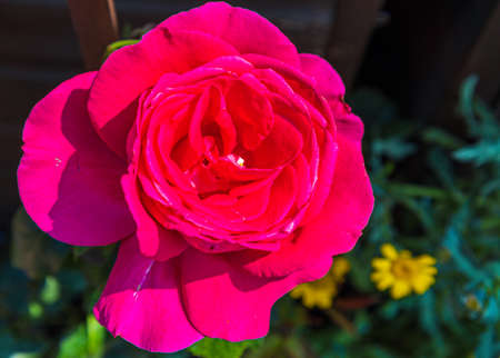 A romantic red rose blossoming in the sunlight.