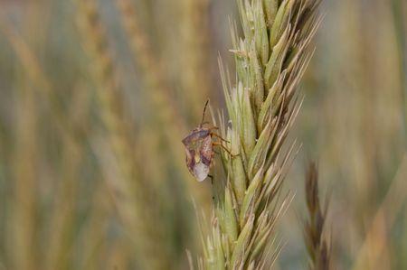 Bug climbing on the wheat ear photo