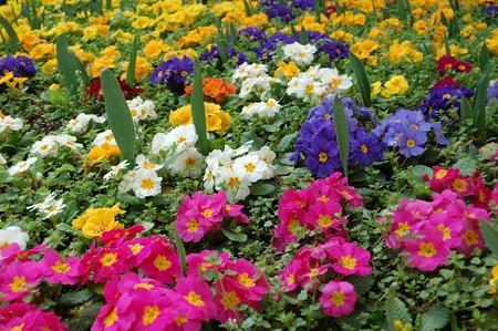 yellows: Carpet of spring pansies