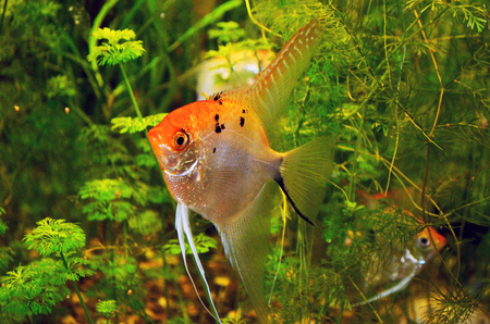 scalar: Angelfish in green thicket Stock Photo