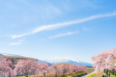 Spring in Japan, Cherry trees along the clear stream of Funakawa Beri, Toyama Prefecture 写真素材