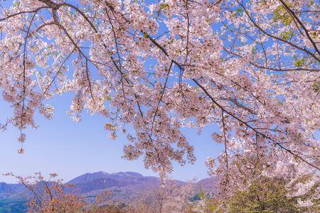 Spring in Japan, Uramata, Fukushima Scenery of Sakura Pass