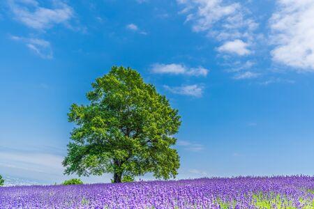 Summer Hokkaido Sapporo Horomi Pass Lavender Garden