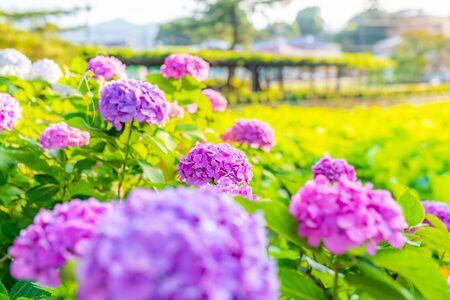 Odawara Castle Hydrangea and Iris Festival