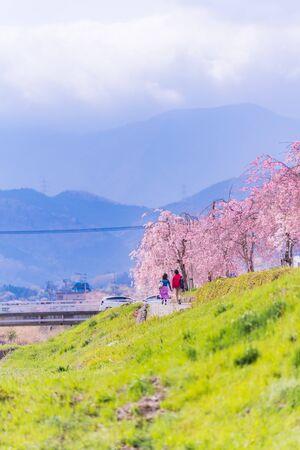 Spring in Japan. Cherry trees along the Mizunashi River in Hadano