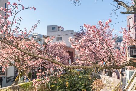 Spring in Japan, Atami Hot Spring Early Blooming Cherry Blossoms Along the ito River