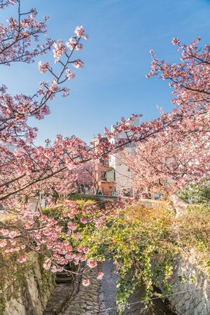 Atami in early spring, Early-blooming cherry blossoms