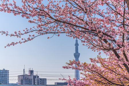 Spring in Japan, Tokyo, Edogawa-ku, Kawazu cherry blossoms along the former Nakagawa River