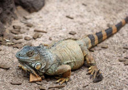 The Komodo dragon calmly sitting on the ground photo