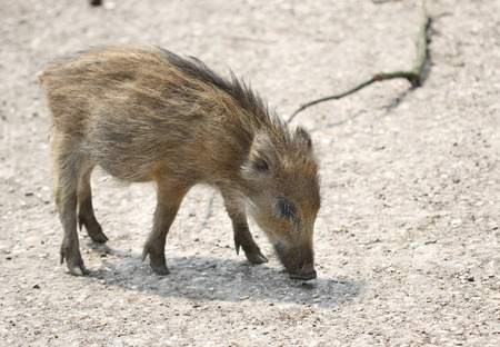 The small wild boar baby searching for the food photo
