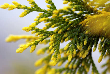 Cypress bough with yellow ends macro shot photo