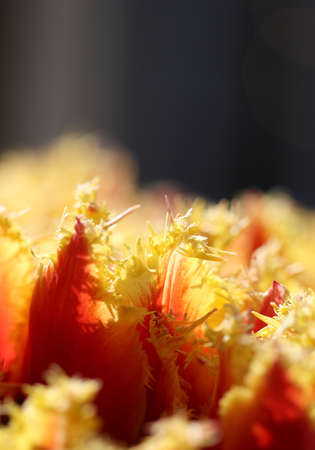 beautiful red tulips close up: The macro shot of fluffy yellow-red tulip petals