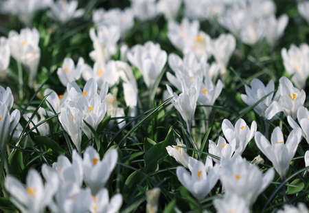 Many white crocus flowers growing under the spring sunshine in the park photo