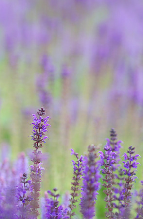 Field of bright blue lavander flowers Stock Photo
