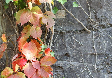 liana: The liana with colorful leaves climbing at the wall Stock Photo