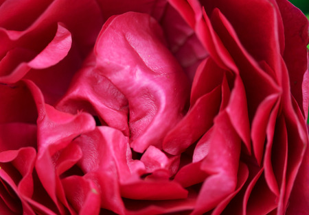 brigh: The bright soft rose macro shot