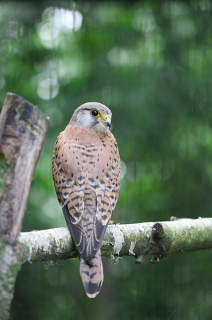 bough: A small falcon sitting on the bough of the tree Stock Photo