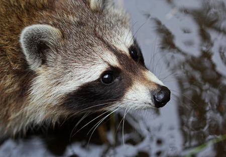 fluffy: The cute fluffy raccoon close up portrait Stock Photo