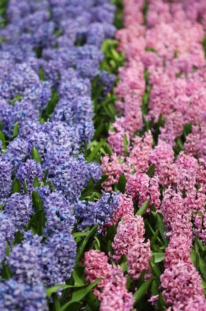 Big amount of the bllue and pink hyacinths Stock Photo