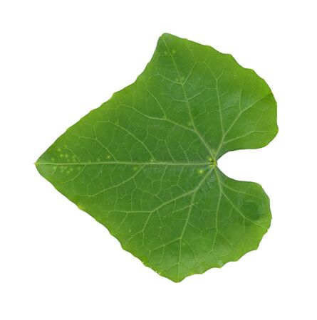 coccinia grandis: Coccinia grandis leaf isolated on white background Stock Photo
