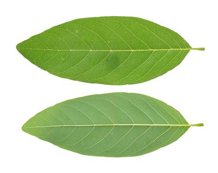 anona: Custard Apple leaf isolated on white background