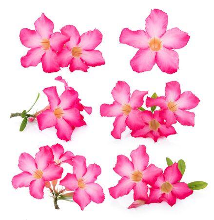 mock azalea: Pink Desert Rose Flower on white background