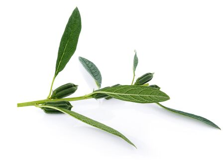 fresh sesame pods isolated on white background 版權商用圖片