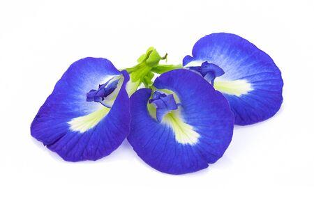blue pea flowers on white background 版權商用圖片
