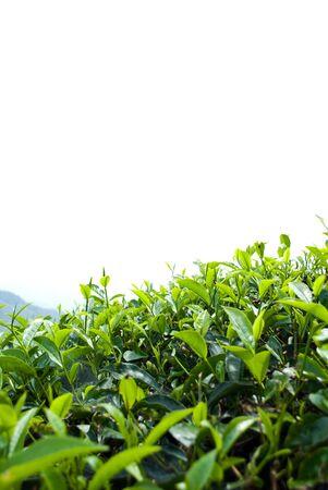Tea plantation photo