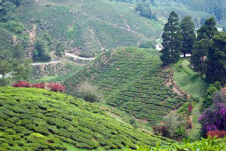 Tea plantation hillside photo