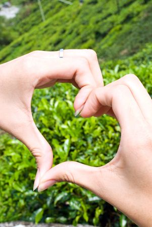 Hand forming love with tea plantation as background Stock Photo - 5151625