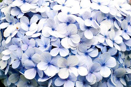 hydrangea flower: Blue Hydrangeas
