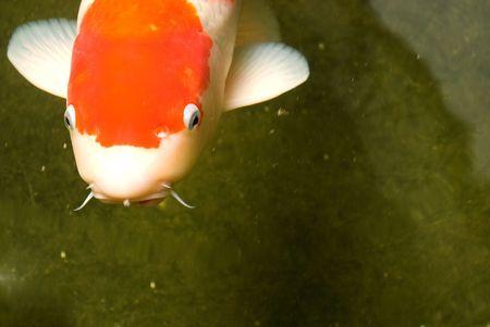 Giant Koi Carp Fish - Cyprinus Carpio photo