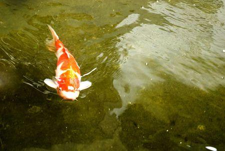 hobbyist: Giant Koi Carp Fish - Cyprinus Carpio