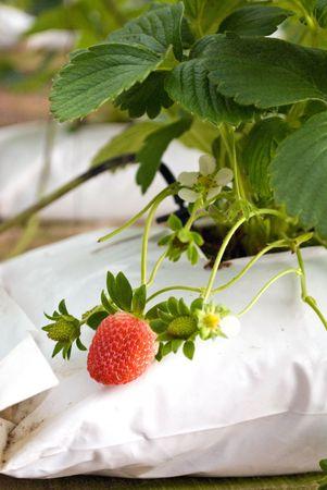 agronomics: Strawberry farm