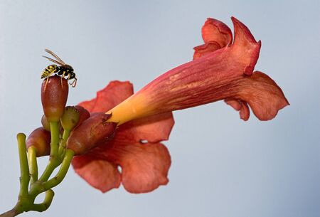 itch: Wasp over a trumpet vine, aka:trumpet creeper, cow itch vine or hummingbird vine.