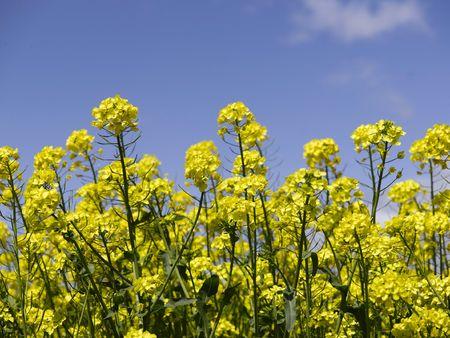 napus: Flowers Stock Photo