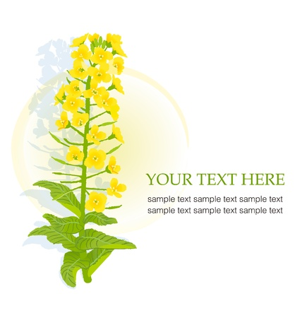 mustard: Illustration of rapaseed flower with copy space  Illustration